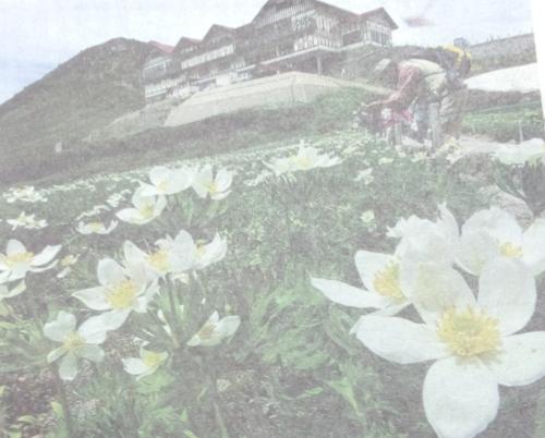 乗鞍岳の畳平に、高山植物のハクサンイチゲが咲き競い!