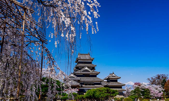 松本の桜情報🌸国宝 松本城の桜